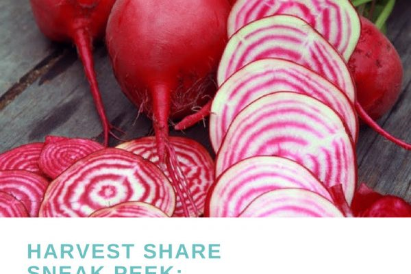 Harvest Share Sneak Peek: Chiogga Beets