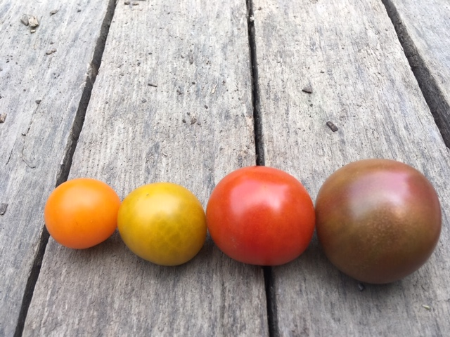 Cherry tomatoes: Sungold, Toronjina, Sakura, Black Cherry